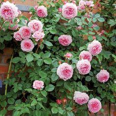 James Galway Roses David Austin, David Austin Rosen, Deadheading Roses, James Galway, Gladiolus Bulbs, Types Of Roses, Garden Bulbs, Rare Flowers, Climbing Roses