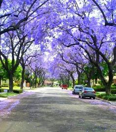 Jacaranda trees in June (this is exactly what my street looks like right now :)