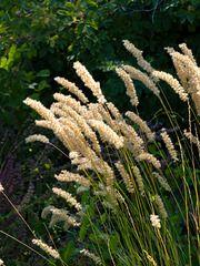 462008 - Eyelash pearl grass (Melica ciliata)