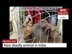 THE NEW DEADLY ANIMAL CAUGHT AT KERALA KARNATAKA BORDER IN THE INDIA IBC...