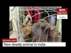 THE NEW DEADLY ANIMAL CAUGHT AT KERALA KARNATAKA BORDER IN THE INDIA IBC...