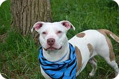 Staten Island, NY - American Staffordshire Terrier Mix. Meet CORVETTE, a dog for adoption. http://www.adoptapet.com/pet/12990884-staten-island-new-york-american-staffordshire-terrier-mix