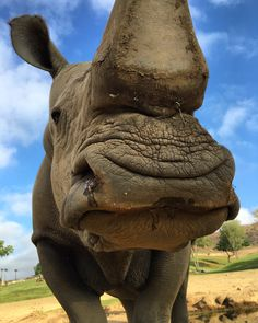 Chuck smooches are the best smooches. White rhinos like Chuck have wide mouths that are perfect for grazing grasses, while the more narrow, prehensile lip of the black rhino is great for pulling leaves and shrubs into its mouth. (photo by Mike Veale)