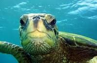 Snorkeling with the turtles in the waters off Kauai, Hawaii!!
