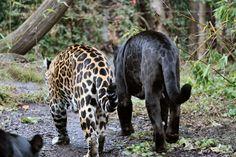 Jaguars ~ 1 melanistic