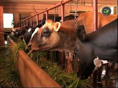 Commercial Dairying Part 1 (revised)