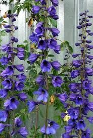 Image result for delphiniums flower