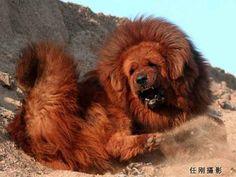 Red Tibetan Mastiff becomes world's most expensive dog! World Expensive Dog, Most Expensive Dog, Huge Dogs, I Love Dogs, Red Tibetan Mastiff, Dogue Du Tibet, Aggressive Dog Breeds, Dog Breeds List, Mastiff Dogs