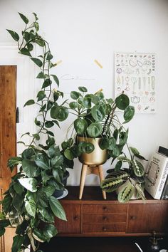 pilea peperomioides trailing plants big plants vining plants cute pots for plant. pilea peperomioides trailing plants big plants vining plants cute pots for plants plant display pla Big Plants, Potted Plants, Indoor Plants, Unique Plants, Hydroponic Gardening, Gardening Tips, Indoor Gardening, Organic Gardening, Plant Aesthetic