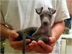 So sweet - Italian Greyhound