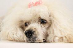 My Poodle! Cute, isn't she?