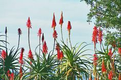 Aloe Succulent Rock Garden, Eternal Sunshine, Aloe, South Africa, Greenery, Succulents, Trees, Park, Flowers