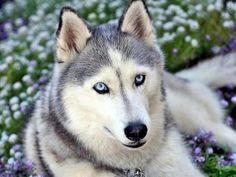 je préféré tous & ta même mon chien préféré j'ai le husky sibérien   Nouveau classement des races de chiens préférées des Français : le Berger allemand détrôné par le Staffie !