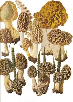 Morels - these gems show up in better markets for about $35/lb.  i used to harvest them by the bucket from the woods behind our house on the lake in Iowa every spring.  we'd cut them in half, soak them, rinse them, pat them dry, dip in egg wash, dredge in cracker meal and fry in butter.  that's a flavor everyone should taste once in their life