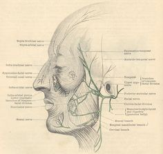 Innervation of superficial muscles by the facial nerves-  :)