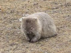 Image result for baby wombat