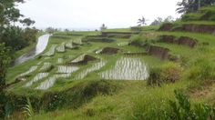 Ricefields on Bali