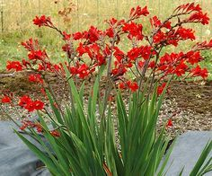 Crocosmia 'Dragonfire' brings a whole new level of red hot to small gardens. Vigorous and compact, 'Dragonfire' won't flop where others flailed,… Outdoor Plants, Garden Plants, House Plants, Flowers Perennials, Planting Flowers, Full Sun Perennials, Beautiful Gardens, Beautiful Flowers, Horticulture
