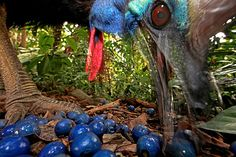 Christian Ziegler of Germany won first prize in the nature single category for this picture of an endangered southern cassowary feeding on the fruit of the blue quandang tree in Australia