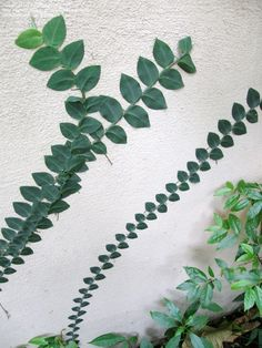 Philodendron (Rhaphidophora pachyphylla)