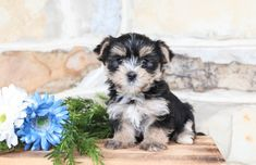 Morkie puppies: Lancaster Puppies has morkie puppies for sale. The Morkie dog is a playful, designer breed. Get a morkie puppy here. Mans Best Friend, Best Friends, Morkie Puppies For Sale, Lancaster Puppies, Animals Dog, Feeling Lonely, Puppy Love, Pets, Sweet