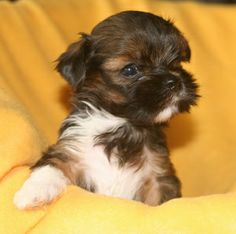 Lhasa apso puppy from von Tri-Song - adorable
