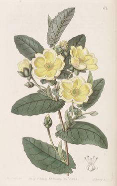 v. 29 (1843) - Edwards's botanical register. - Biodiversity Heritage Library  http://www.blog.designsquish.com/index.php?/site/edwards_botanical_register/