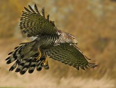 Photo Goshawkvjpg by Ronald Coulter on Northern Goshawk, National Geographic Photographers, Photography Words, Horse Pictures, Birds Of Prey, Raptors, Great Shots, Nature Wallpaper, Bird Art