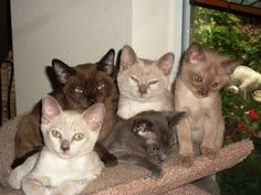 Learn everything about Burmese Cats. Find all Burmese Cat Breed Information, pictures of Burmese Cats, training, photos and care tips. I Love Cats, Crazy Cats, Cool Cats, Kittens And Puppies, Cats And Kittens, Baby Animals, Cute Animals, Pretty Animals, Cat Anatomy