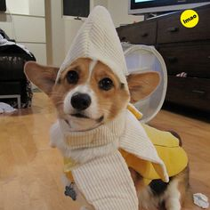 A Corgi In A Banana Costume