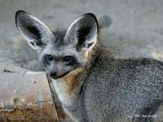 Bat eared fox.  What a cutie