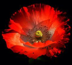 Vibrant Red Poppy