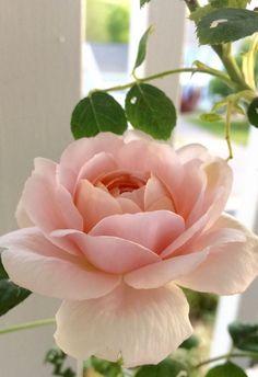 Queen of Sweden from my own Secret Garden - Çiçekler aşktır/Flowers are love - Beautiful Rose Flowers, Exotic Flowers, Amazing Flowers, Beautiful Flowers, Pink Roses, Pink Flowers, Peony Flower, Cactus Flower, Tea Roses