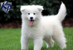 Webster – Samoyed Puppies for Sale in PA | Keystone Puppies