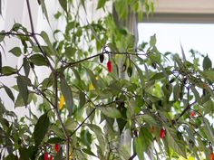 Orozco chili pepper. Capsicum Annuum.