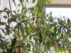 Orozco chili pepper. Capsicum Annuum.