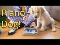 Golden Video of the Week - September 15, 2013 -11 week old Golden Retriever Plays Piano and Sings - YouTube