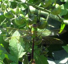 Amazing dragonfly camouflaged against cherry tomatoes