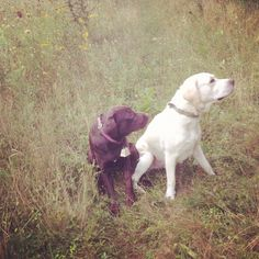 Where's the bird?! Tessie the Chocolate lab and her buddy Max in training. Labrador retriever.