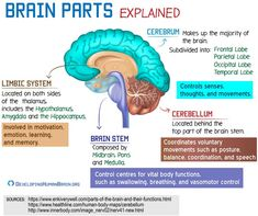 How the human brain functions? What does it need to work optimally? What makes human brain different? Brain Parts And Functions, Brain Anatomy And Function, Psychology Notes, Psychology Studies, Psychology Major, Human Brain Parts, Human Body, Limbic System, Circulatory System