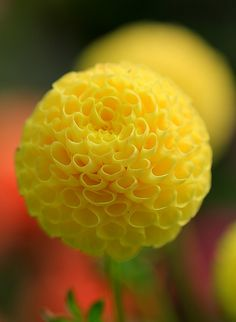 Great ball of fire - yellow dahlia - exquisite!