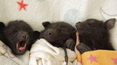 adorable orphaned baby bats // australian bat clinic