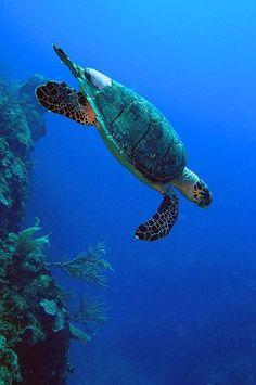 This reminds me of the time I went snorkeling off the shores of Oahu and spotted a sea turtle. I swam next to it and was literally 3 feet away from it.