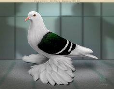 Saxon Pigeon