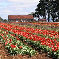 photoj Australia-Tasmania Tulips