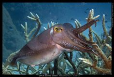 Is this Cuttlefish asking for a high five?
