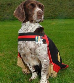 Air Dog Buster, an English springer spaniel, recently retired from military duty with the RAF after serving in Bosnia, Iraq and Afghanistan. Buster was a sniffer dog used to locate bombs, booby traps. Military Working Dogs, Military Dogs, War Dogs, Chien Springer, Animal Heros, Dog Search, English Springer Spaniel, Bow Wow, Service Dogs
