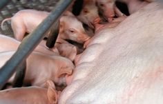 Tips for Raising Pigs During Sow Farrowing Time - Sustainable Farming - MOTHER EARTH NEWS