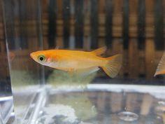 Medaka rice fish oryzias latipes
