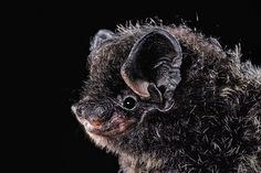 <b>Silver-haired bat</b> (<i>Lasionycteris noctivagans</i>) Silver Haired Bat, Secret Life, The Secret, Bat Images, Real Batman, New Scientist, Animal Portraits, Merlin, Bats